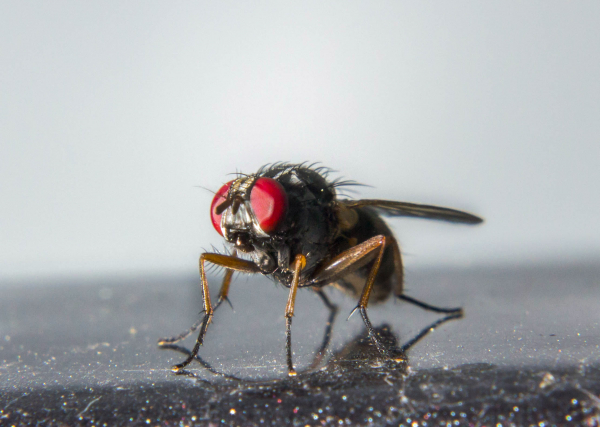 Just Your Average Fly